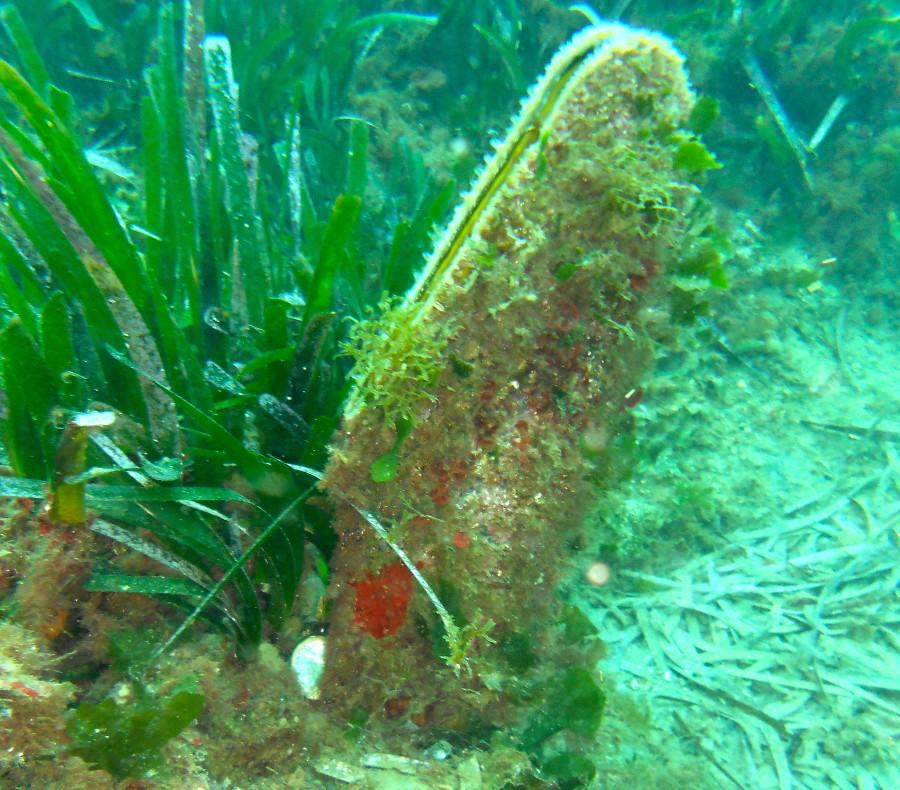 """""""Pinna nobilis"""" a rischio estinzione, ricercatori in azione nel golfo di Napoli"""