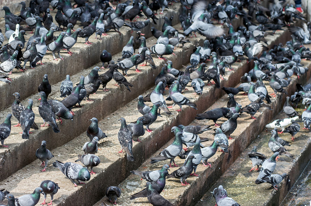 """Troppi piccioni in città? Albanella dà il via alla campagna """"anticoncezionale"""""""